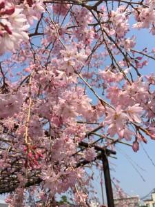 2018.03 桜